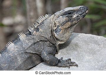 zamknięcie, wizerunek, do góry, iguana