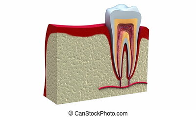 zdrowy, anatomia, stomatologiczny, zęby