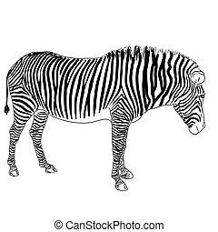 zebra., wektor, ilustracja, jeden