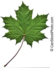 zielony liść, klon